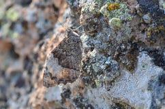 Syriaca Hipparchia бабочка, камуфлирование, Стоковые Фото