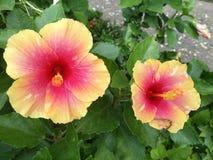 Syriacus gêmeo do hibiscus imagem de stock