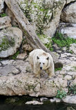 Syrian bear. In Jerusalem biblical zoo stock images