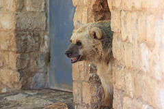 Syrian bear looks out from a passage in the wall Royalty Free Stock Photography