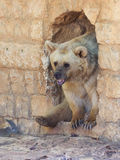 Syrian bear  looks out from a passage in the wall Royalty Free Stock Photos
