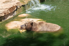 Syrian bear resting a day in the water Stock Image