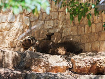 Syrian bear resting in the shadow of the day Royalty Free Stock Images