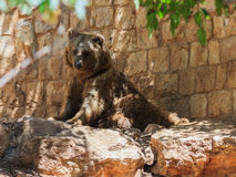 Syrian bear resting in the shadow of the day Stock Images