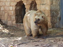 Syrian bear  standing in the shadow of the day Stock Photo