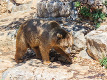 Syrian bear  walking around and looking for food Stock Photo