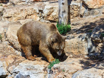 Syrian bear  walking around and looking for food Stock Photos