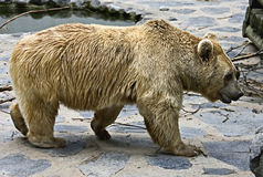 Syrian brown bear 13 Stock Image