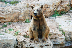 Syrian Brown Bear Royalty Free Stock Photography