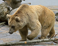 Syrian Brown Bear 14 Stock Images