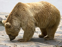 Syrian brown bear 15 Royalty Free Stock Photo