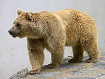 Syrian brown bear 17 Royalty Free Stock Photos