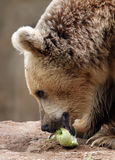 Syrian brown bear Royalty Free Stock Photos