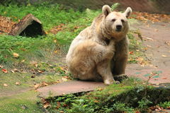 Syrian brown bear Stock Photo