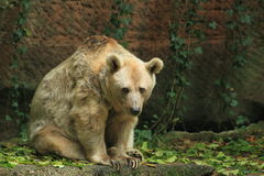 Syrian brown bear. The gazing adult syrian brown bear stock photography