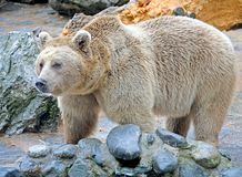 Syrian brown bear 9 Stock Photo