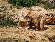 Syrian brown bear, Jerusalem Biblical Zoo in Israel. JERUSALEM, ISRAEL - MAY 8: Syrian brown bear in Biblical Zoo in Jerusalem, Israel on May 8, 2016 Stock Photography
