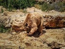 Syrian brown bear, Jerusalem Biblical Zoo in Israel Royalty Free Stock Photos