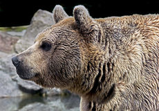 Syrian brown bear 2 Royalty Free Stock Image