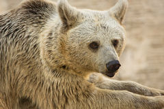 Syrian Brown Bear portrait Royalty Free Stock Images