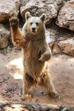 Syrian brown bear. Rose on its hind legs stock image