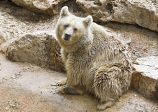 Syrian brown bear sitting on the ground Royalty Free Stock Image