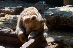 Syrian brown bear sitting on the ground Royalty Free Stock Photos