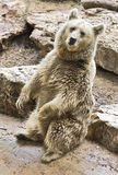 Syrian brown bear sitting Royalty Free Stock Photography