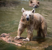 Syrian brown bear taking bath in a river Stock Image