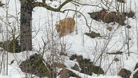 Syrian brown bear (Ursus arctos syriacus) walking in the snow. stock footage