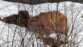 Syrian brown bear (Ursus arctos syriacus) walking in the snow. stock video