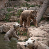 Syrian brown bears Royalty Free Stock Photos