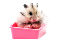 Syrian hamster 1. Syrian hamster in a pink food tray in a white background stock images