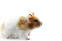 Syrian Hamster. Side profile of a female Syrian hamster isolated in white background royalty free stock image