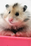 Syrian Hamster 4. Syrian hamster sitting in a pink container in an al white backgroud royalty free stock photo