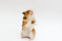 Syrian hamster Stock Photos