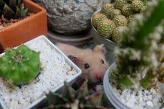 Syrian Hamster among cactus Stock Photography