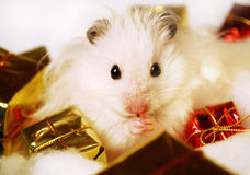 Syrian hamster with Christmas gifts. Stock Photo