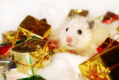 Syrian hamster with Christmas gifts. Royalty Free Stock Photo