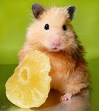 Syrian hamster with dried pineapple Royalty Free Stock Photos