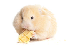 Syrian hamster Royalty Free Stock Photography