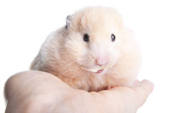 Syrian hamster Stock Photos