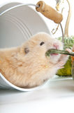 Syrian hamster Stock Images