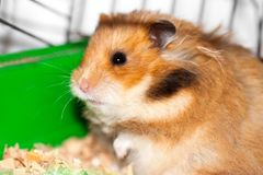 Syrian hamster gnaws inside a cage, eager to freedom. Brown Syrian hamster gnaws inside a cage, eager to freedom, close up stock image
