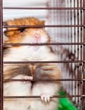 Syrian hamster gnaws inside a cage, eager to freedom. Brown Syrian hamster gnaws inside a cage, eager to freedom, close up royalty free stock photos