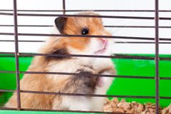 Syrian hamster gnaws inside a cage, eager to freedom. Brown Syrian hamster gnaws inside a cage, eager to freedom, close up stock photo