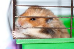 Syrian hamster gnaws inside a cage, eager to freedom. Brown Syrian hamster gnaws inside a cage, eager to freedom, close up stock photos