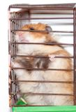 Syrian hamster gnaws inside a cage, eager to freedom. Brown Syrian hamster gnaws inside a cage, eager to freedom royalty free stock image