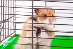 Syrian hamster gnaws inside a cage, eager to freedom. Brown Syrian hamster gnaws inside a cage, eager to freedom royalty free stock photo
