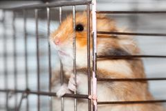 Syrian hamster gnaws inside a cage, eager to freedom. Brown Syrian hamster gnaws inside a cage, eager to freedom royalty free stock photography